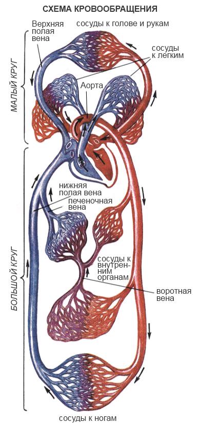 dvizhenie krovi v organizme cheloveka