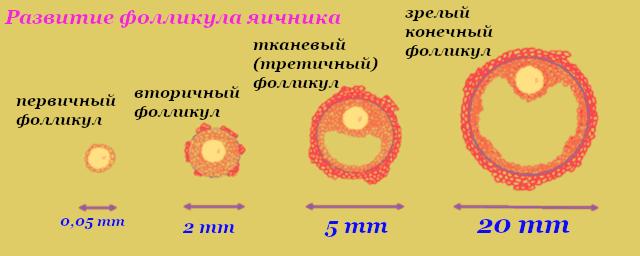 kak rastet i razvivaetsya follikul fazy processa razmery po dnyam cikla vplot do ovulyacii