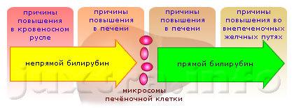 prichiny povysheniya bilirubina v krovi i sposoby snizheniya