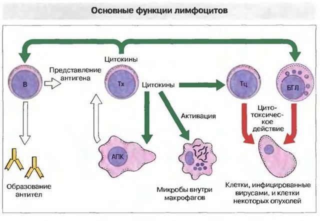 prichiny limfocitoza i lechenie