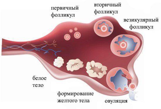 prichiny tyanushhih bolej vnizu zhivota v pervye dni posle ovulyacii i pozzhe