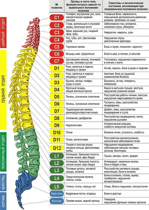 anatomiya i funkcionalnye osobennosti pozvonochnogo stolba cheloveka