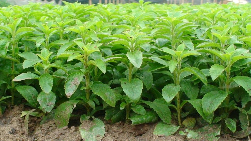 trava steviya pri saharnom diabete